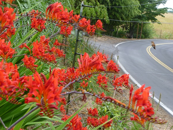 Some Crocosmia entertaining a hummingbird near the home of Jewel's daughter Alyse